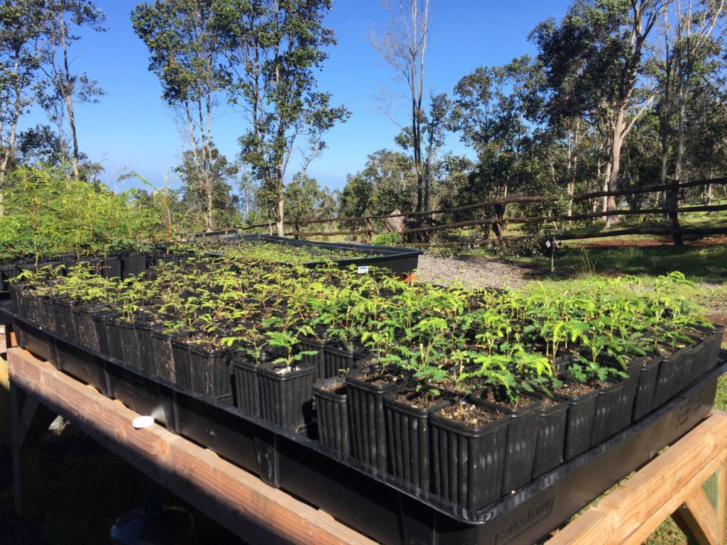 reforest_hawaii_koa_trees_big_island.jpg