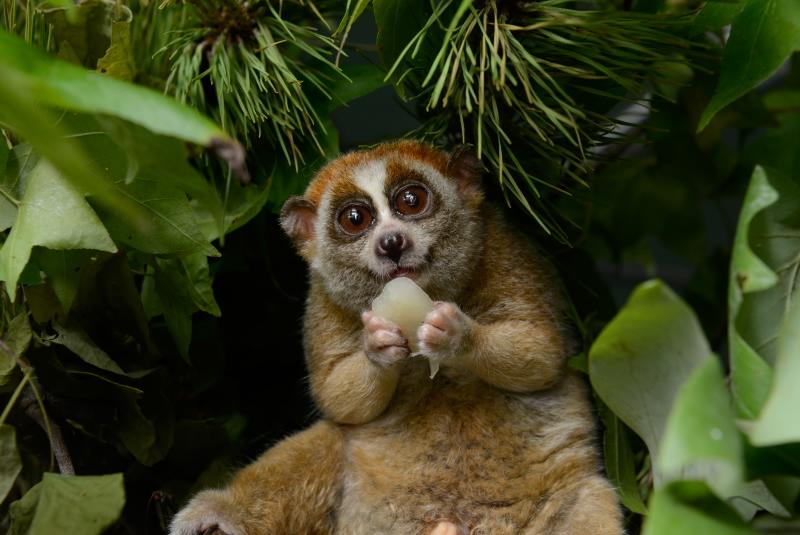 Happy pygmy slow loris at the Duke Lemur Center, USA