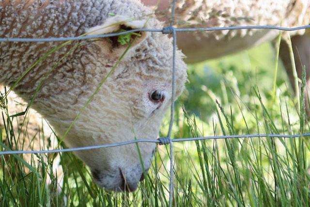 Stone Barns Lamb - Hill Reeves; photo by Alexis Buatti Ramos