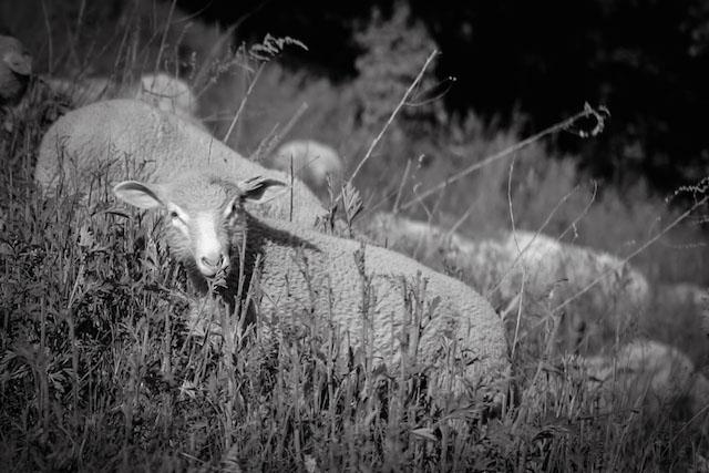 Stone Barns Sheep - Hill Reeves; photo by Alexis Buatti Ramos