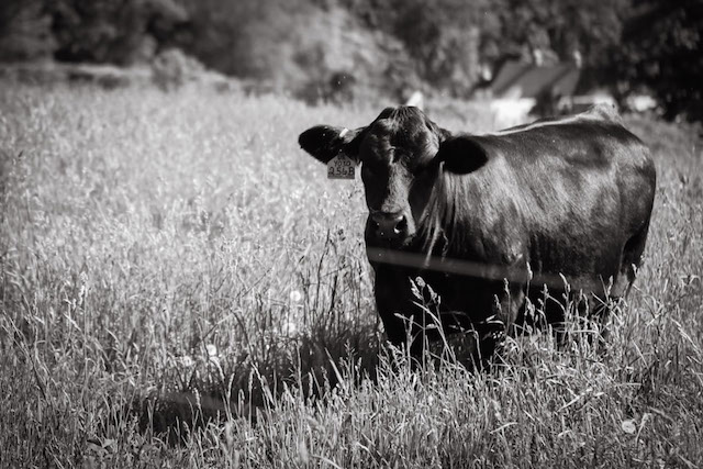 Stone Barns Cow - Hill Reeves; photo by Alexis Buatti Ramos