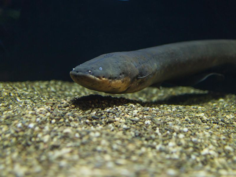 The Shocking World of Electric Fishes