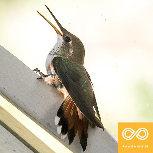 hummingbird-20140602-D71_4797-2v.jpg