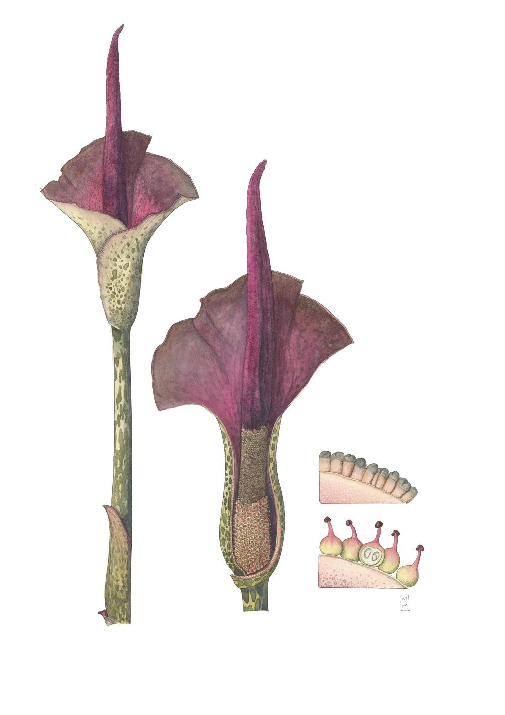 Amorphophallus-konjac_mara-menahan.jpg