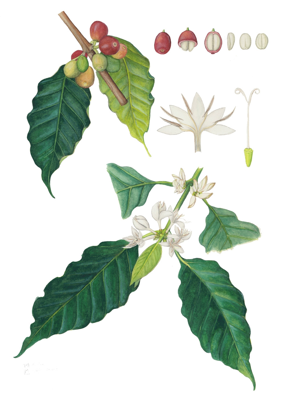 Coffea_arabica_Coffee_illustration_Mara-Menahan.jpg