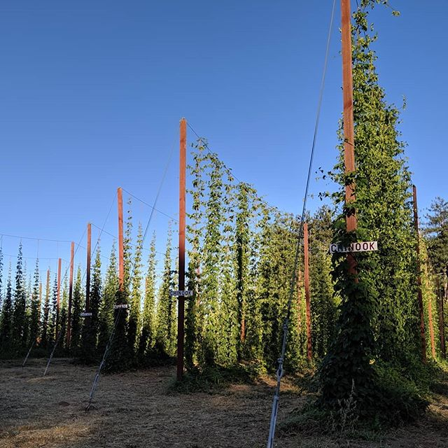 Sunset over the Chinook and Cascade at @capracopia farm. In just a few weeks we'll be back here brewing fresh hop beer. There's still a few spots left, link in our bio.