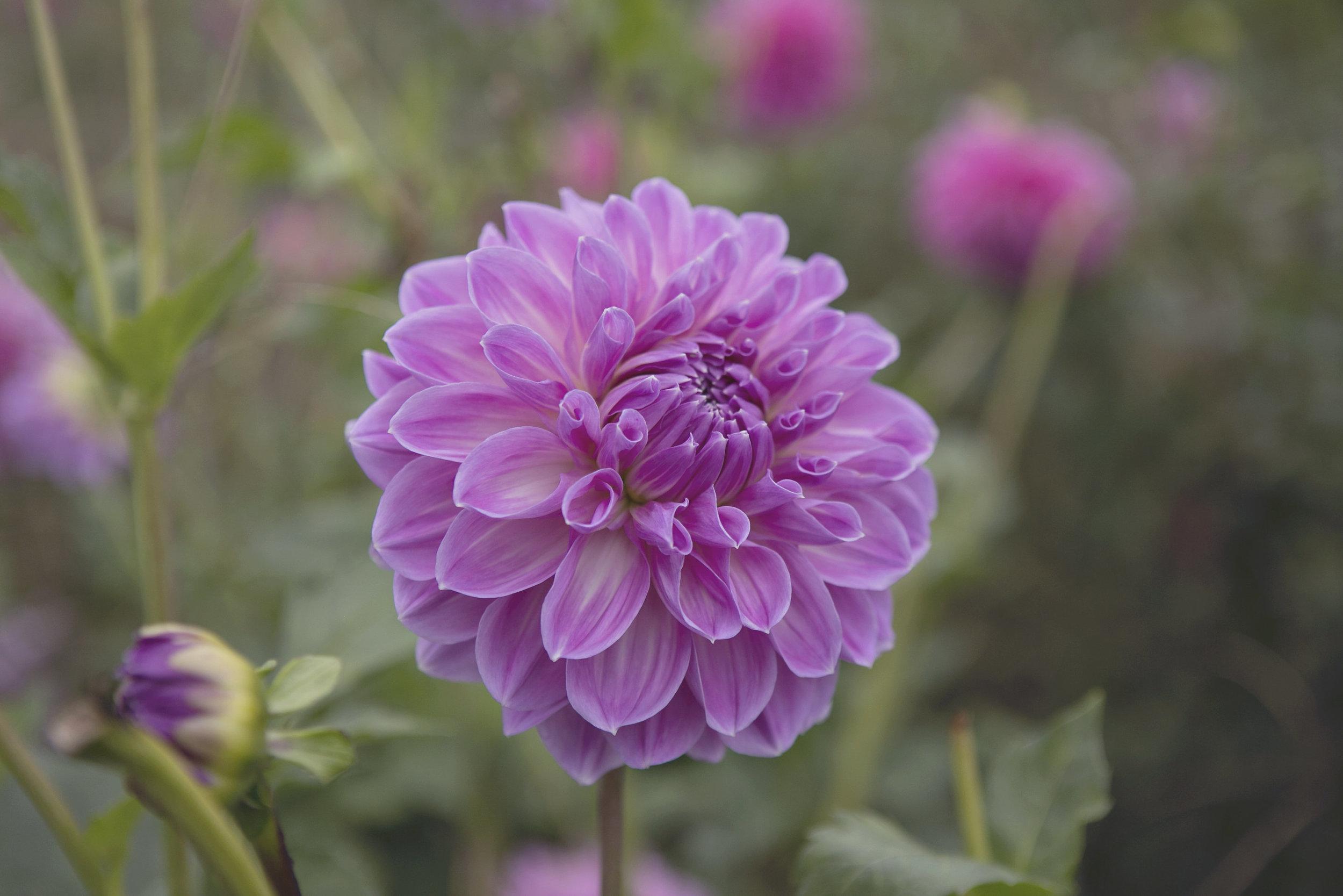 Lavender + Purple Toned Dahlias