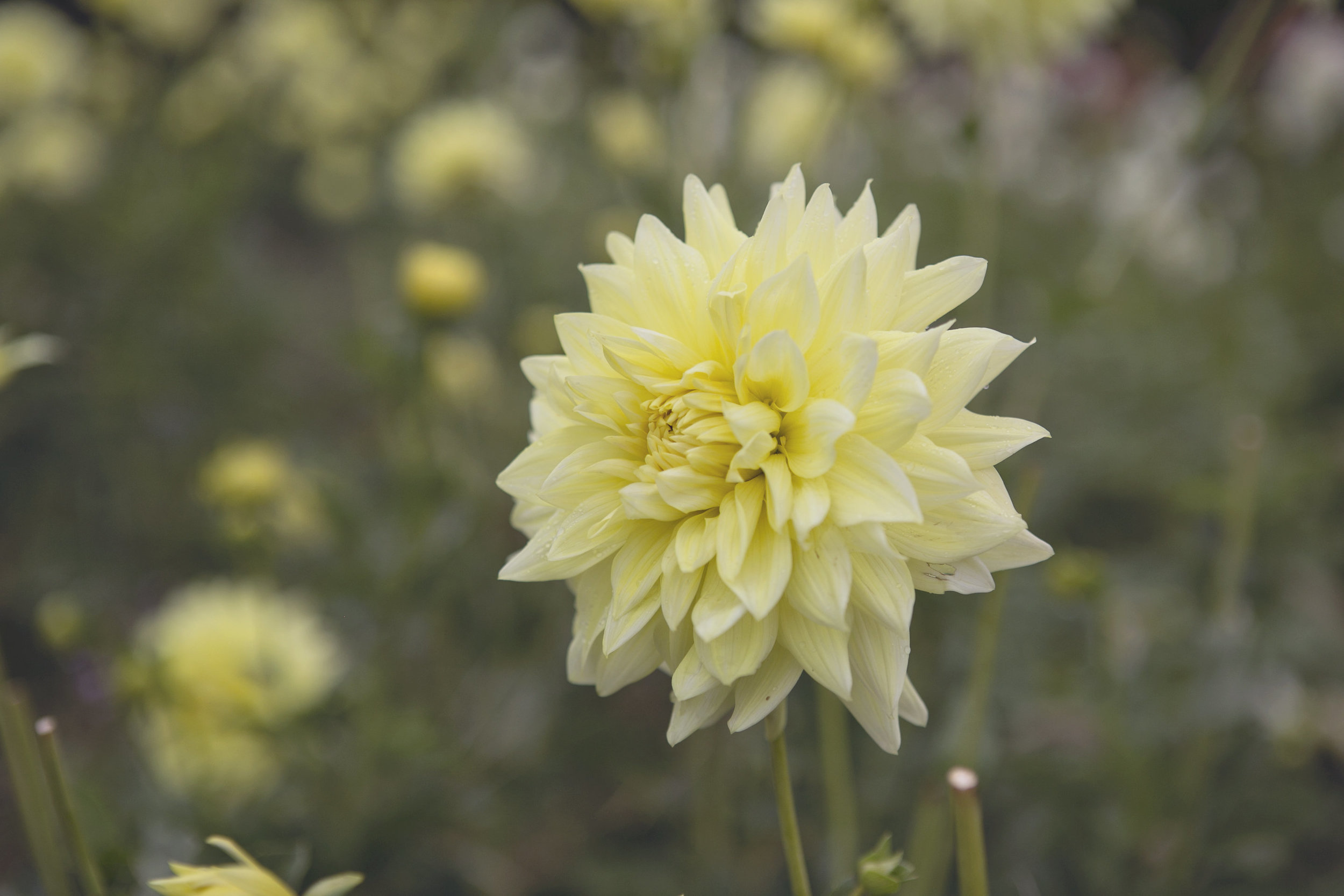 Yellow Toned Dahlias