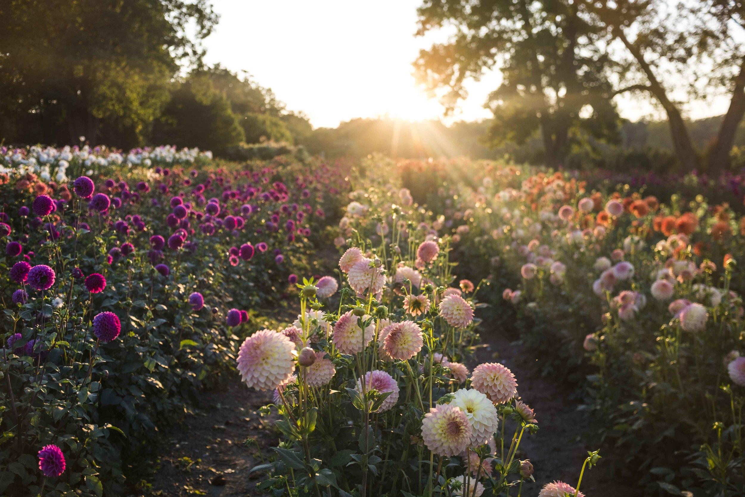 Summer Dreams Farm Dahlia Field
