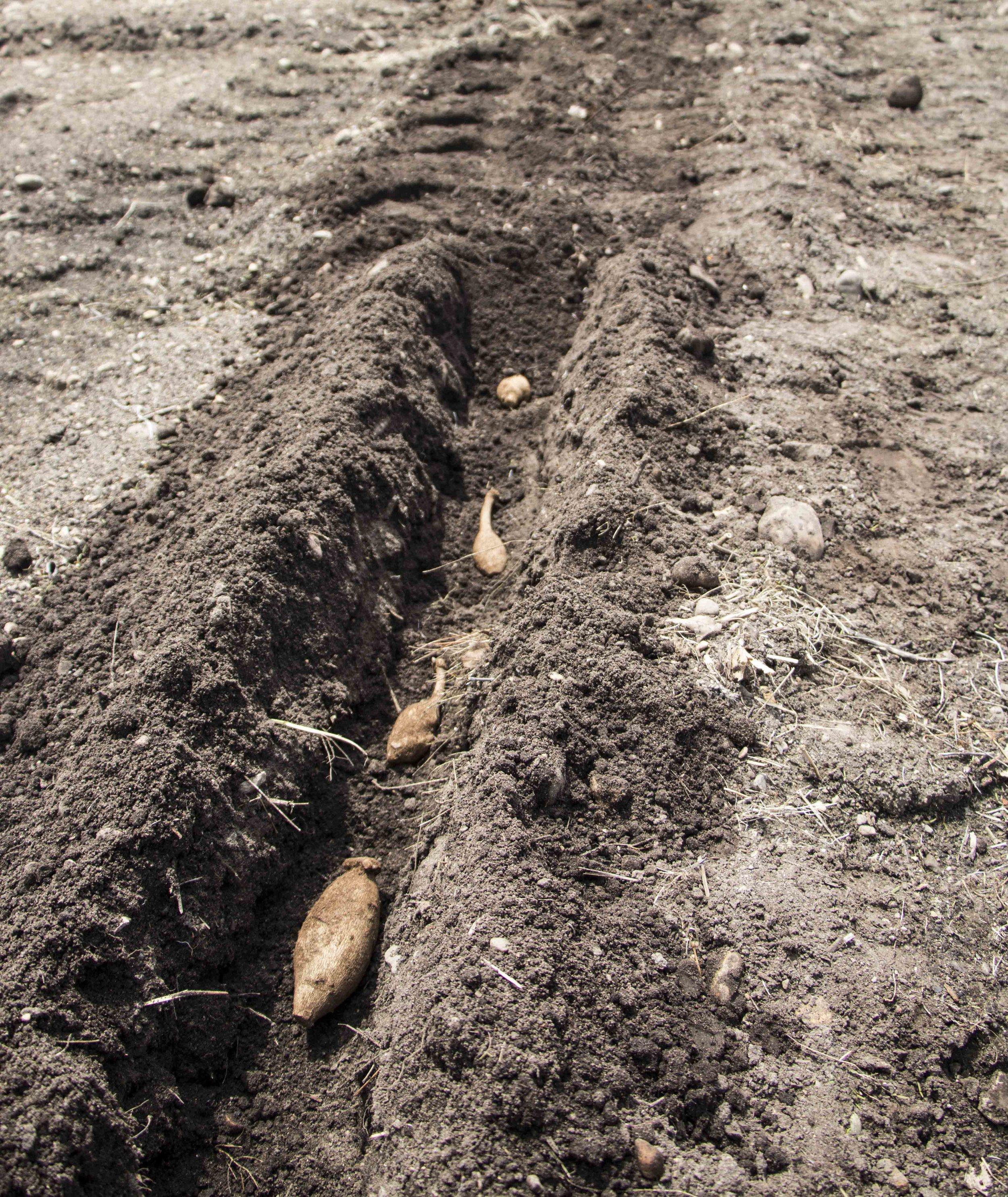 Dahlia Care Sumreamsfarm