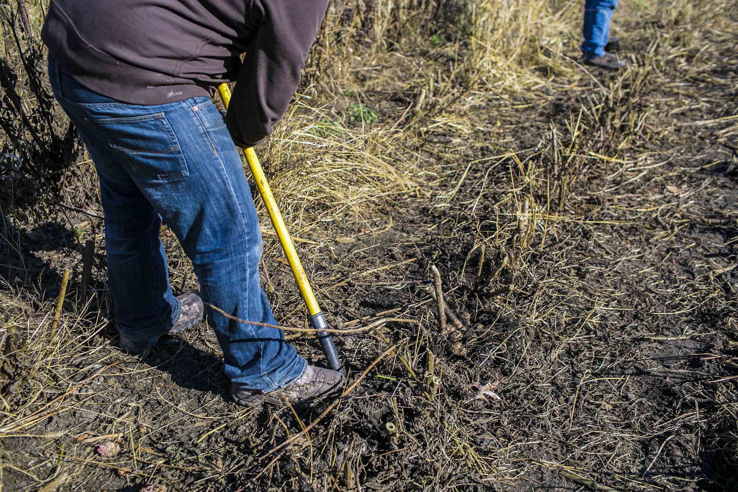 """Digging dahlia tubers after the stems were cut around 6"""" above the ground"""