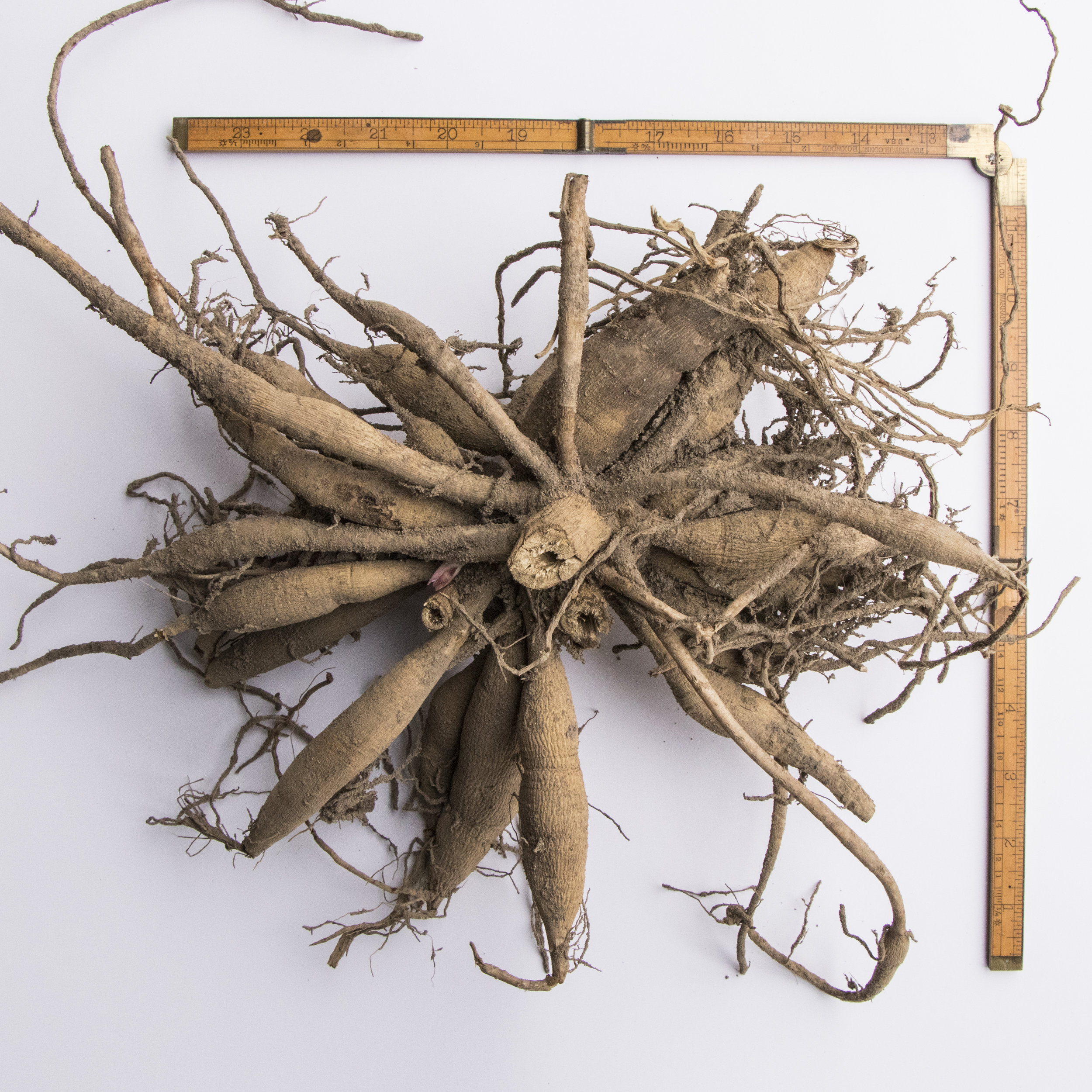 A typical clump of Rip City dahlia tubers. It is one of the most productive varieties we grow.