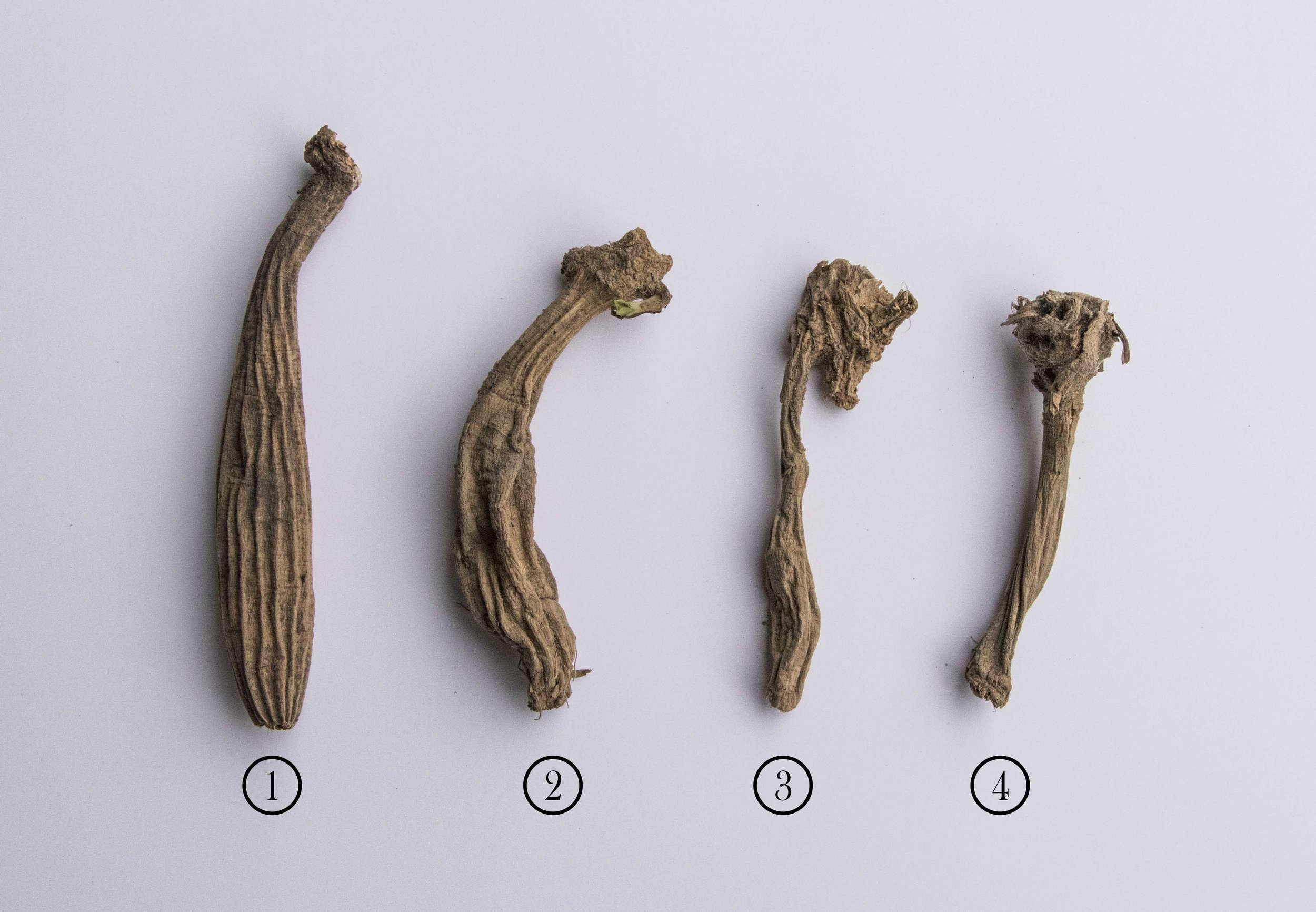 Examples of dried tubers. Look at the next photo too see what they look like inside.