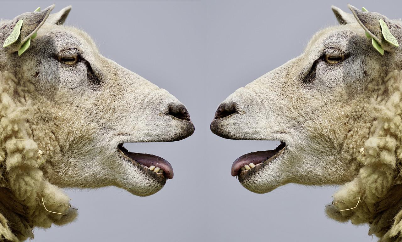 sheep-2372148_1280.jpg