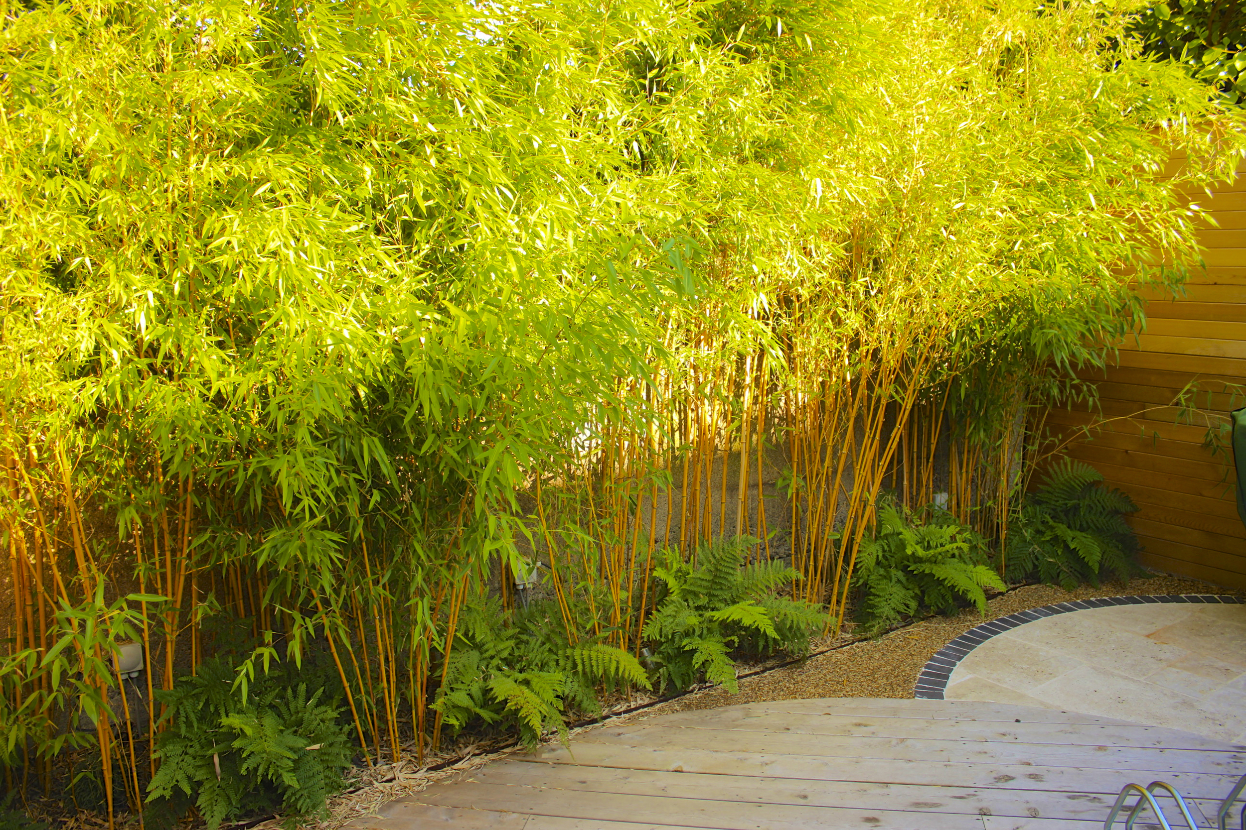 evergreen bamboo at Sunset