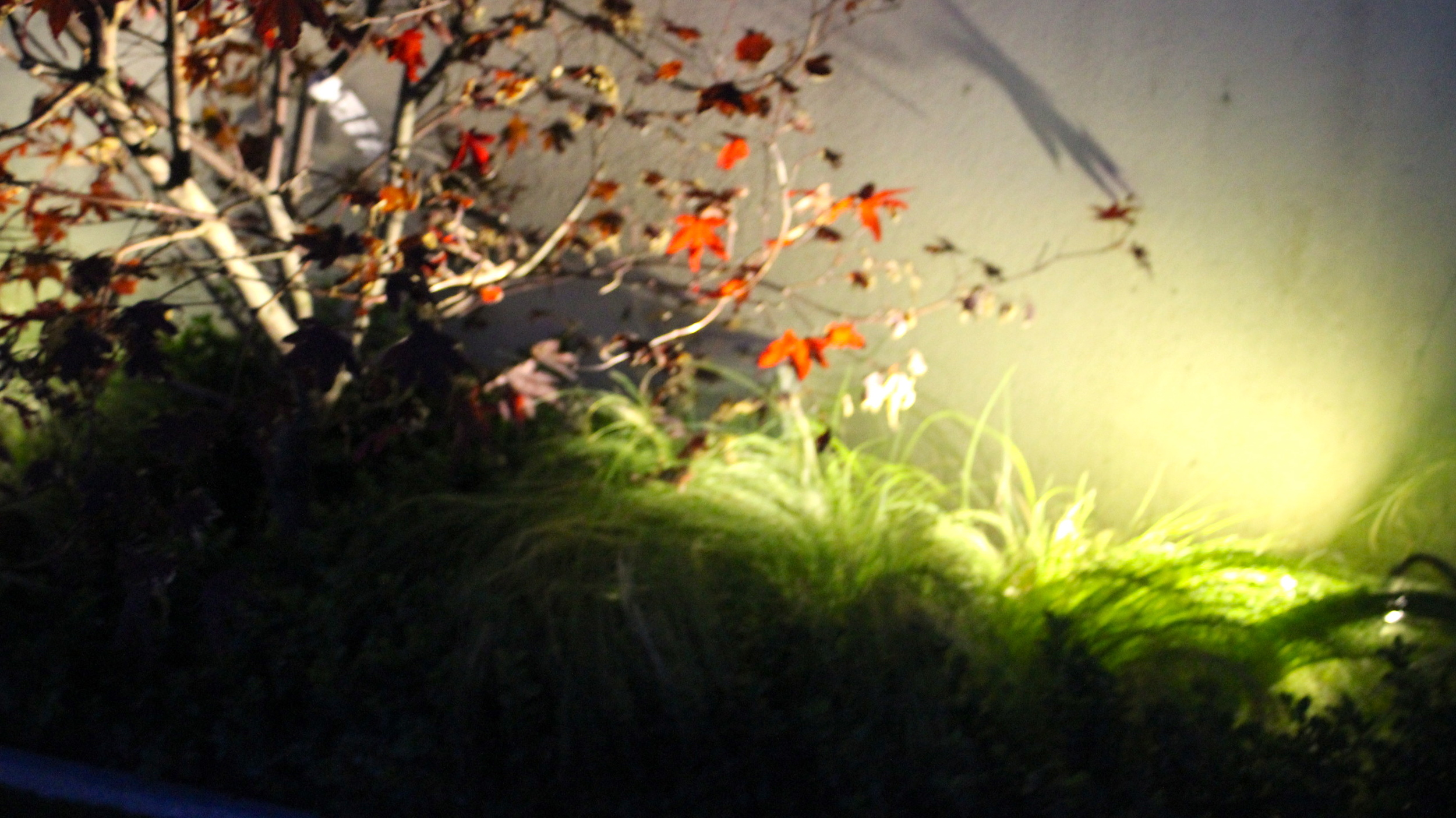 ACER Japonica and Lights