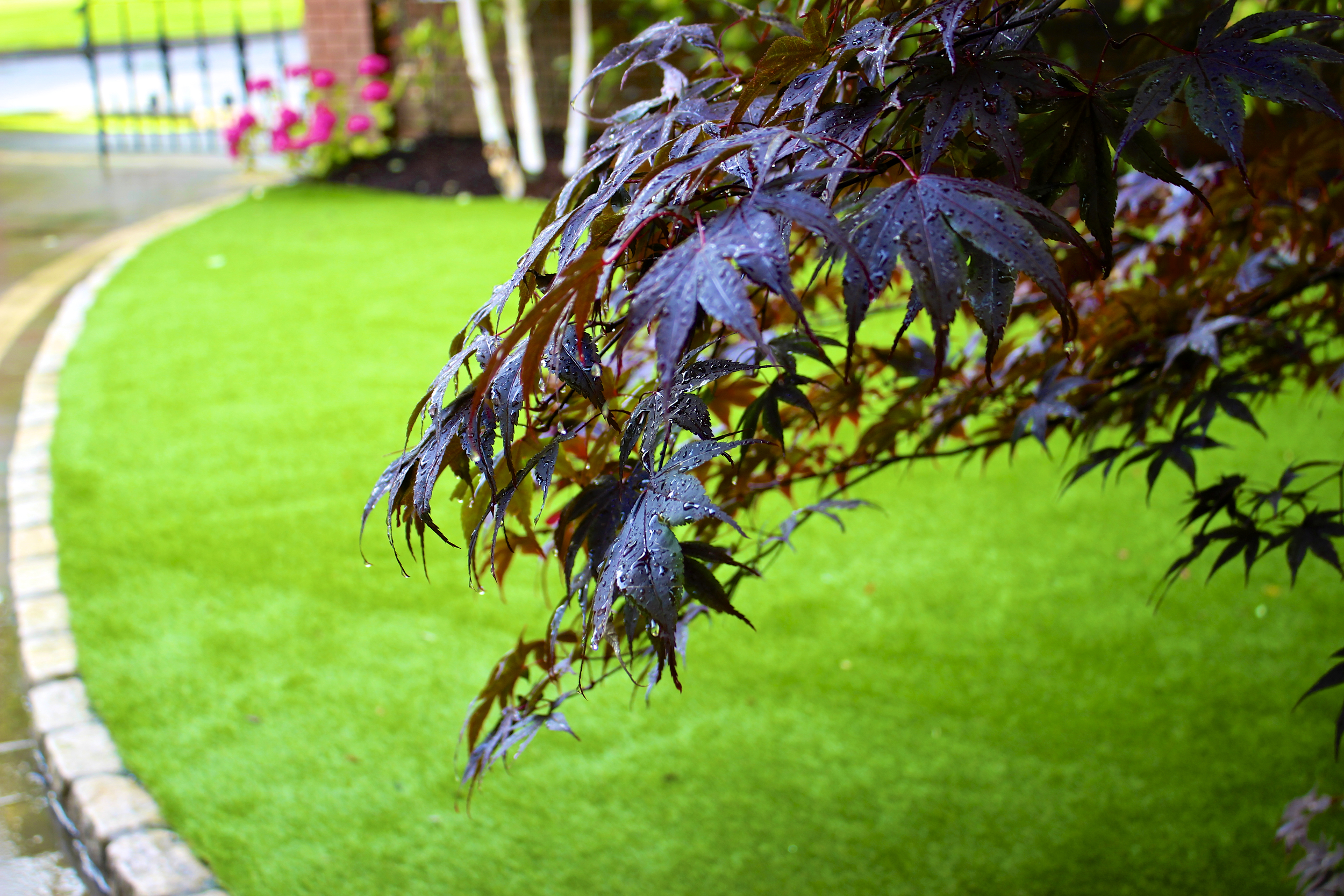 Maple tree and lawn turf