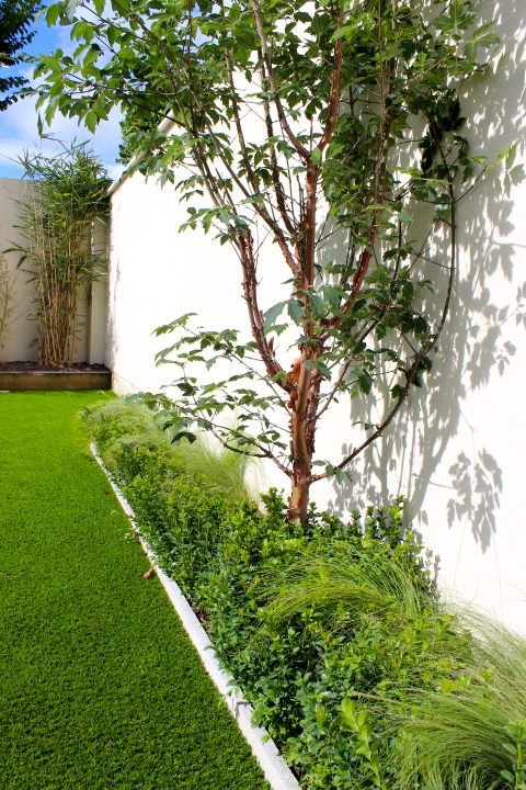 Maple tree and Buxus