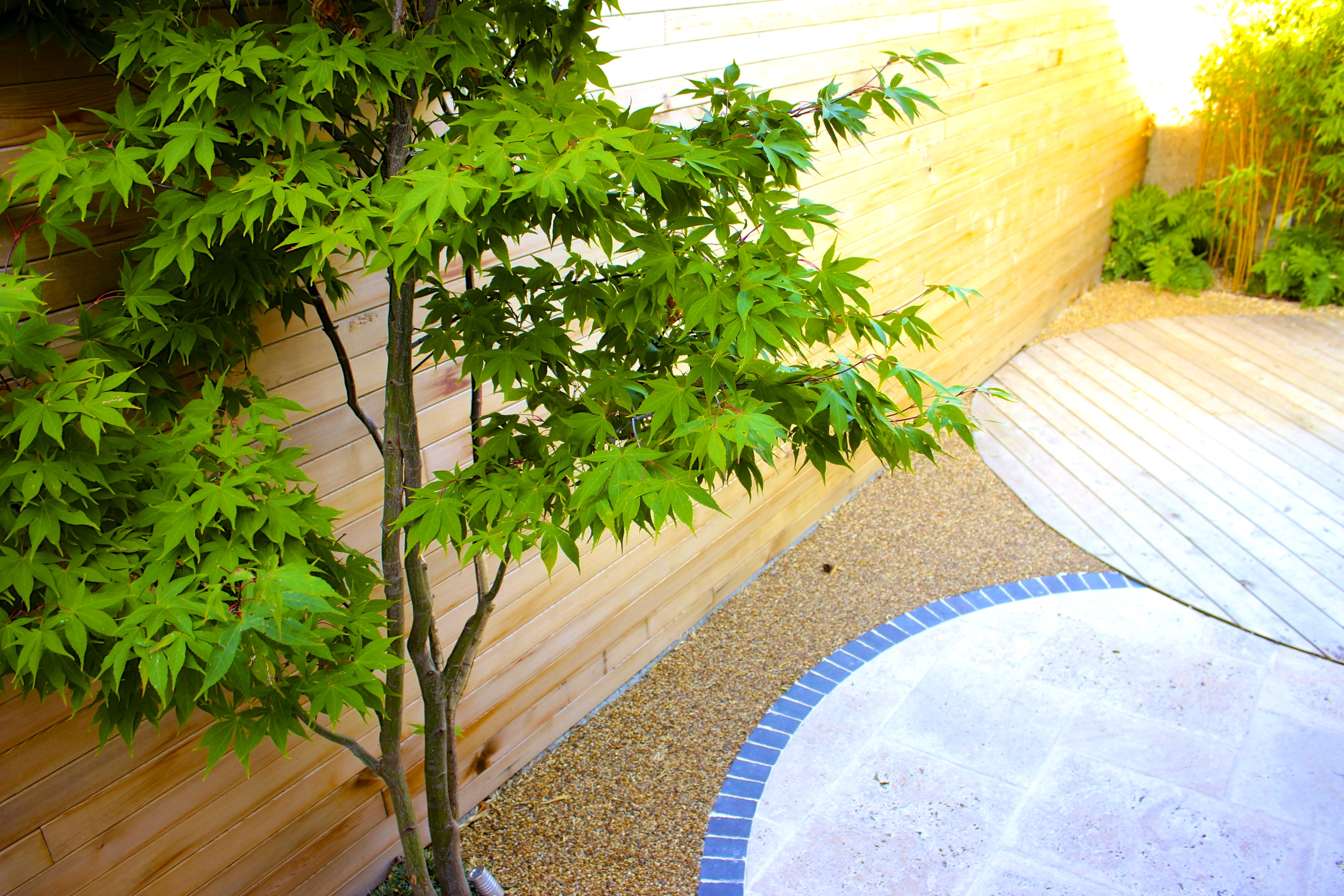 Maple Tree and paving stone