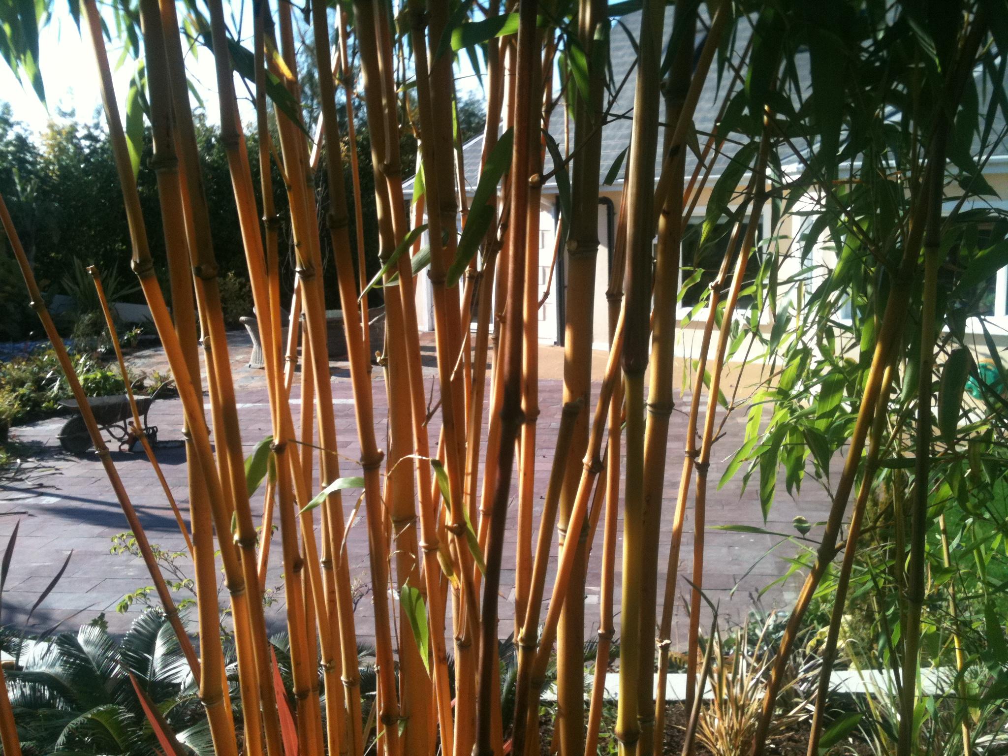 Bamboo clump