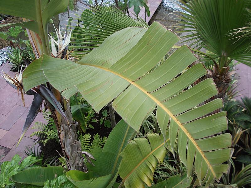 Banana leaf shot.JPG