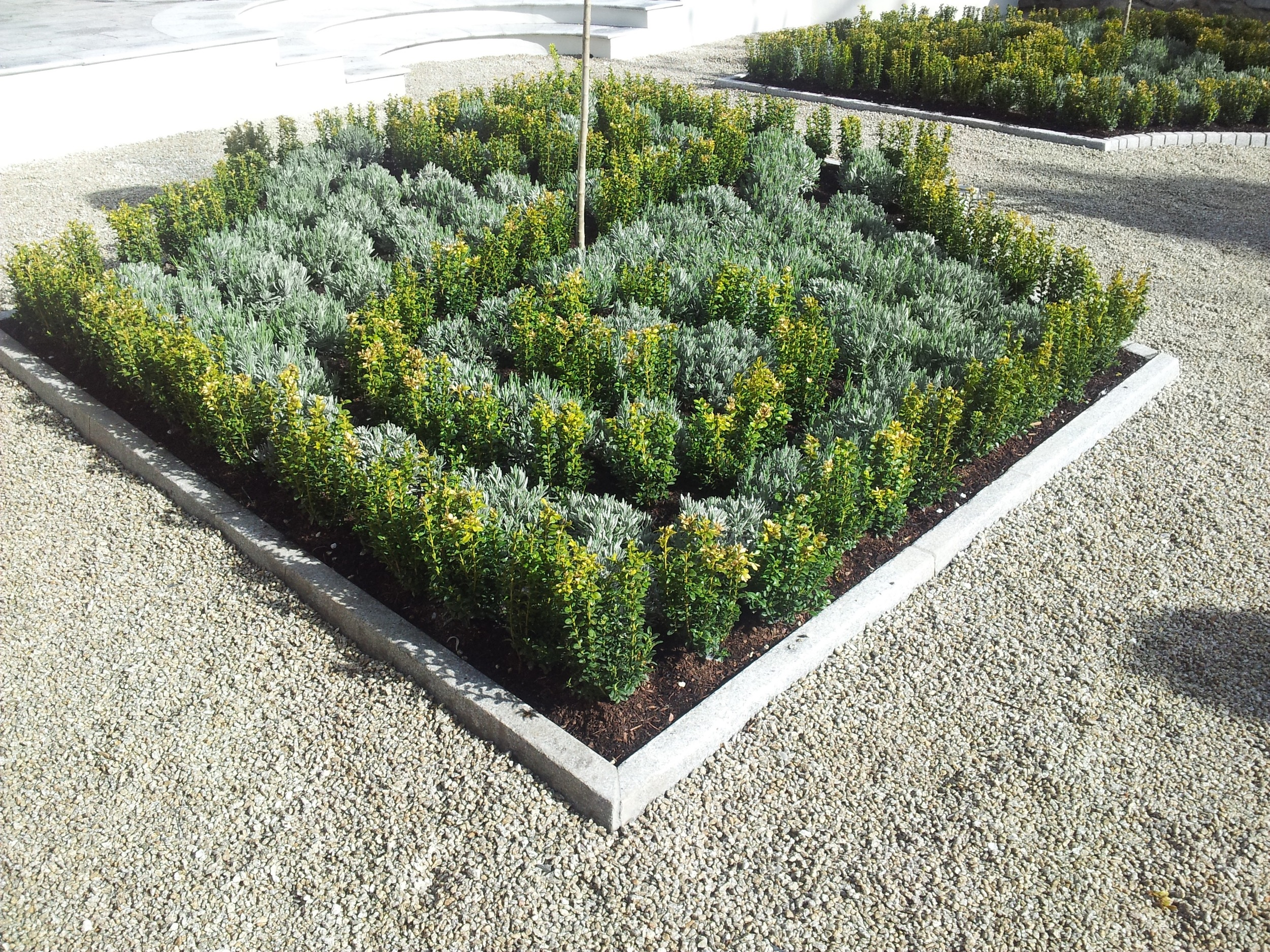 Lavender and buxus planting