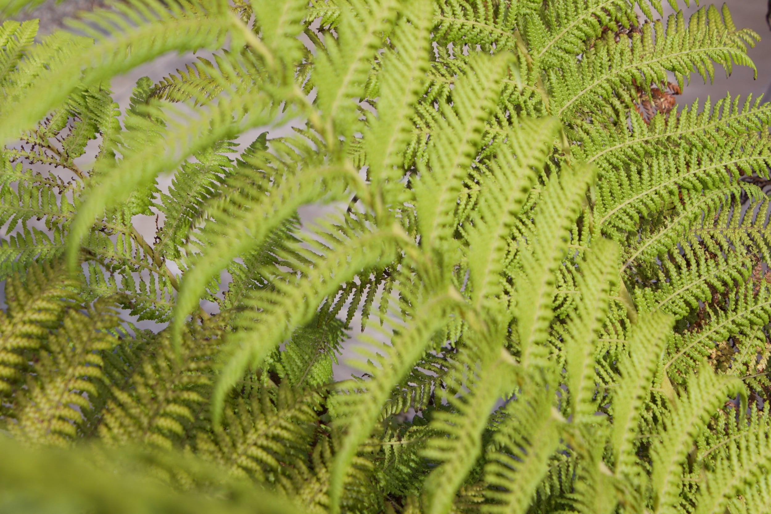 antartica dicksonia Tree Fern.jpg