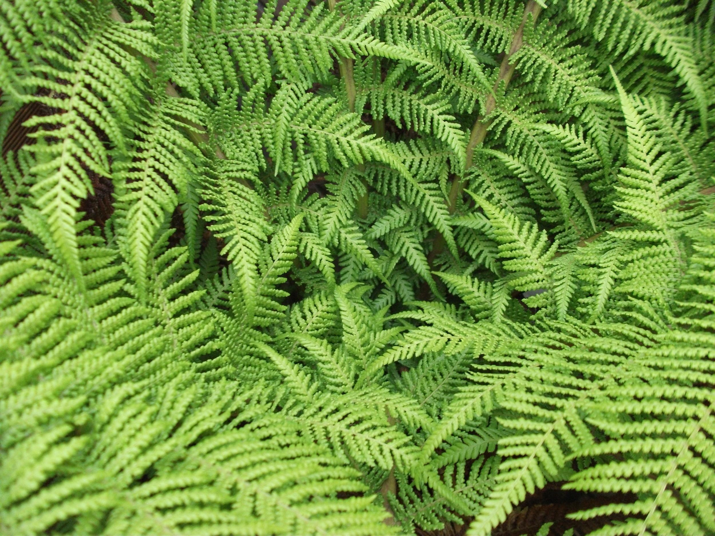 fronds of fern tree