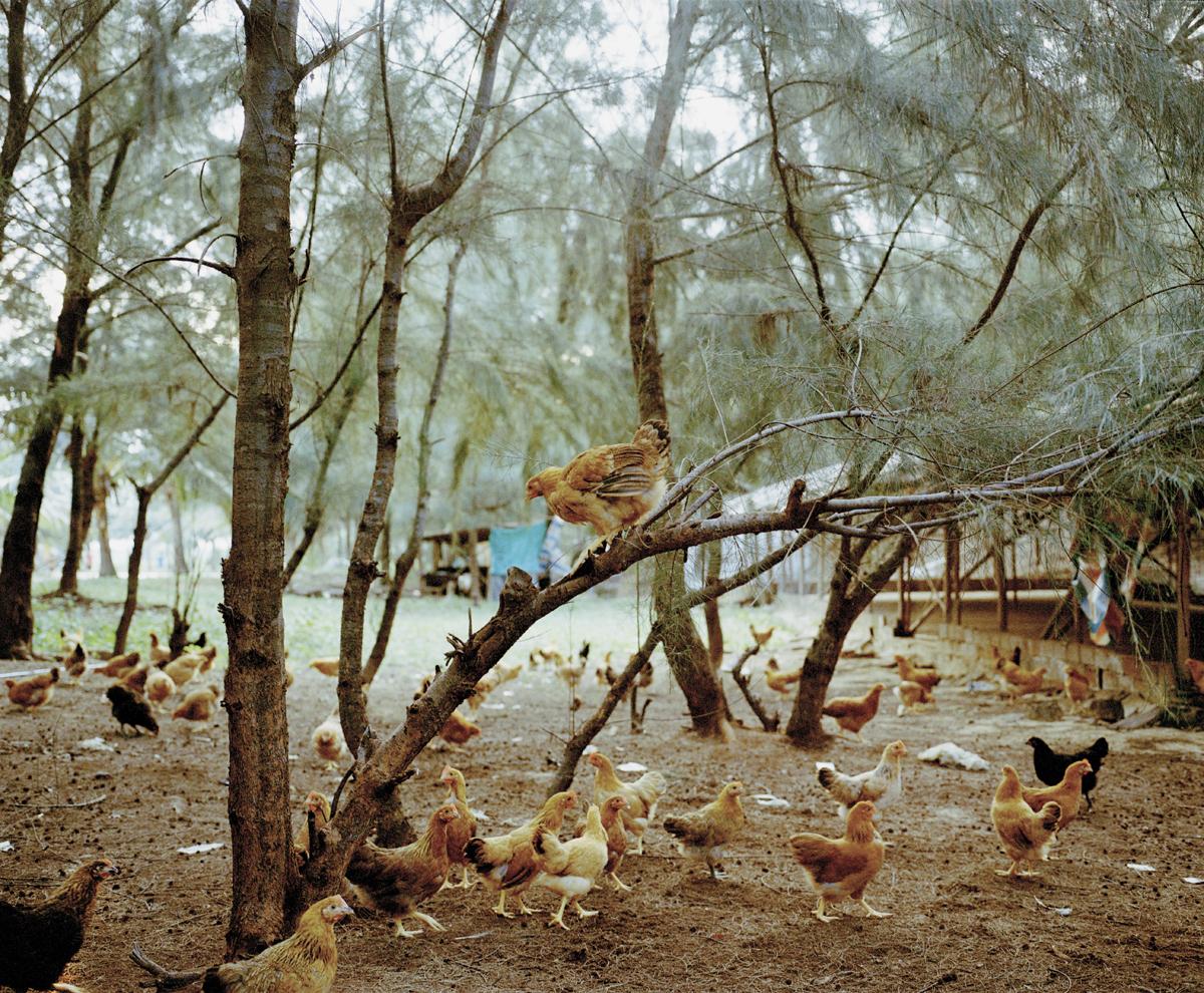 1_chicken_tree.jpg