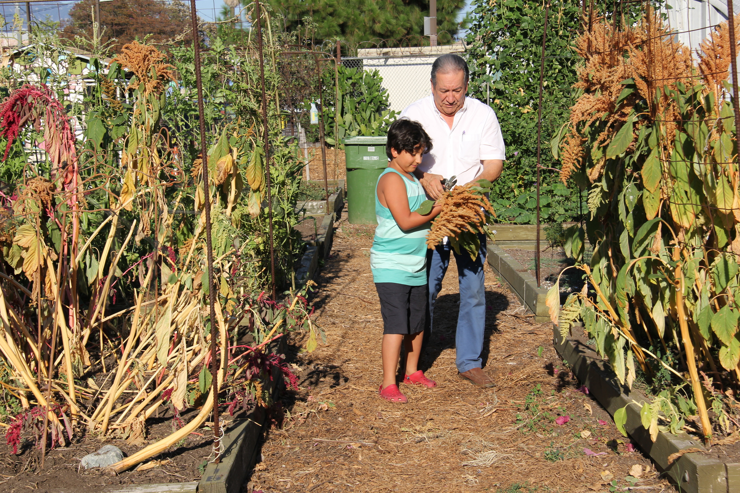 Amaranth Harvest Milagro Allegro Community Garden, Highland Park, California 2015