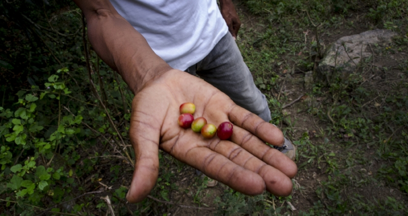 Coffee Fruit from the mountain trek to a coffee farm in Ranquitte, Haiti