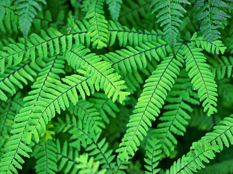 Western maidenhair fern
