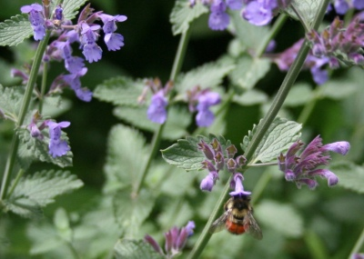 Catmint with bumblebee
