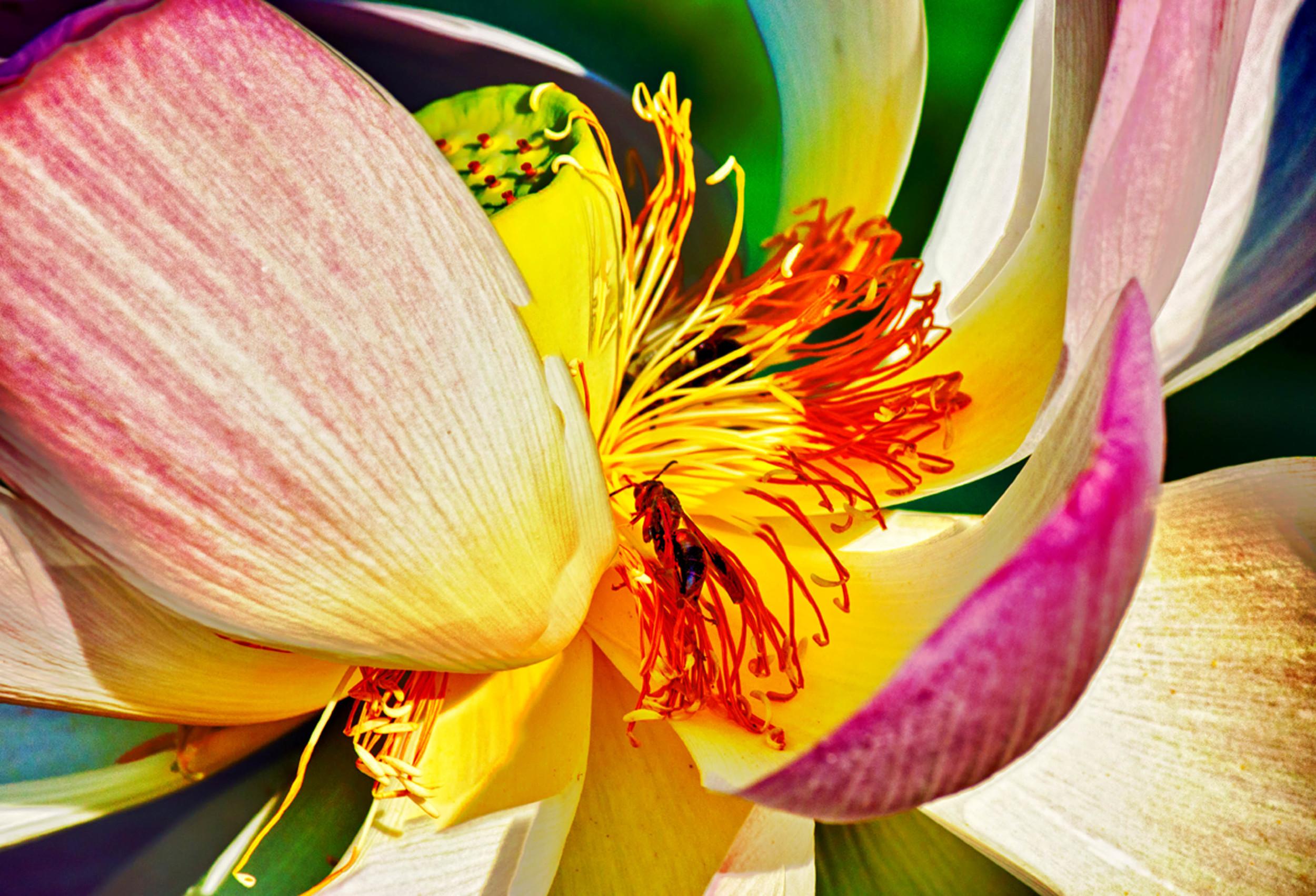 Lotus Blossom Close Up