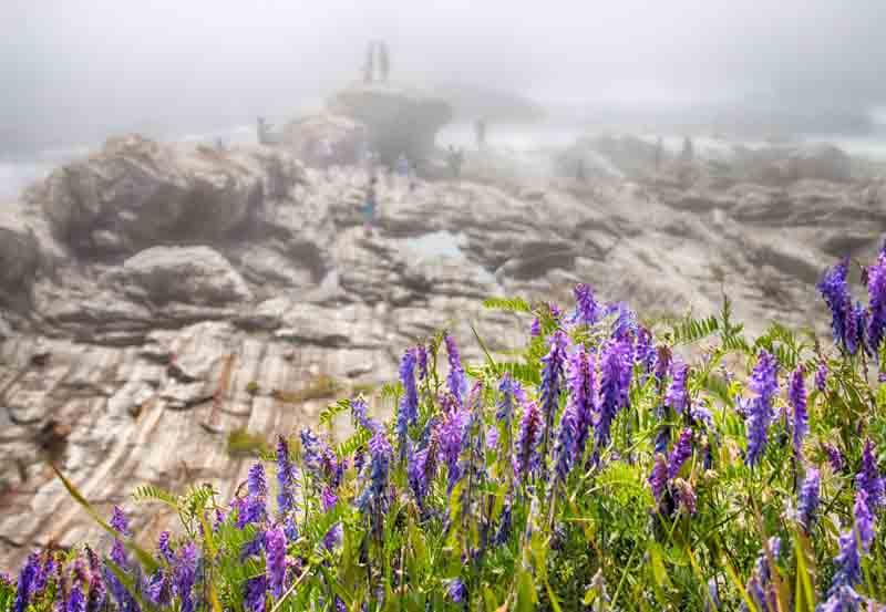 Pemaquid Point - Purple Flowers