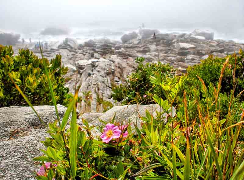 Pemaquid Point - Fog and Flowers