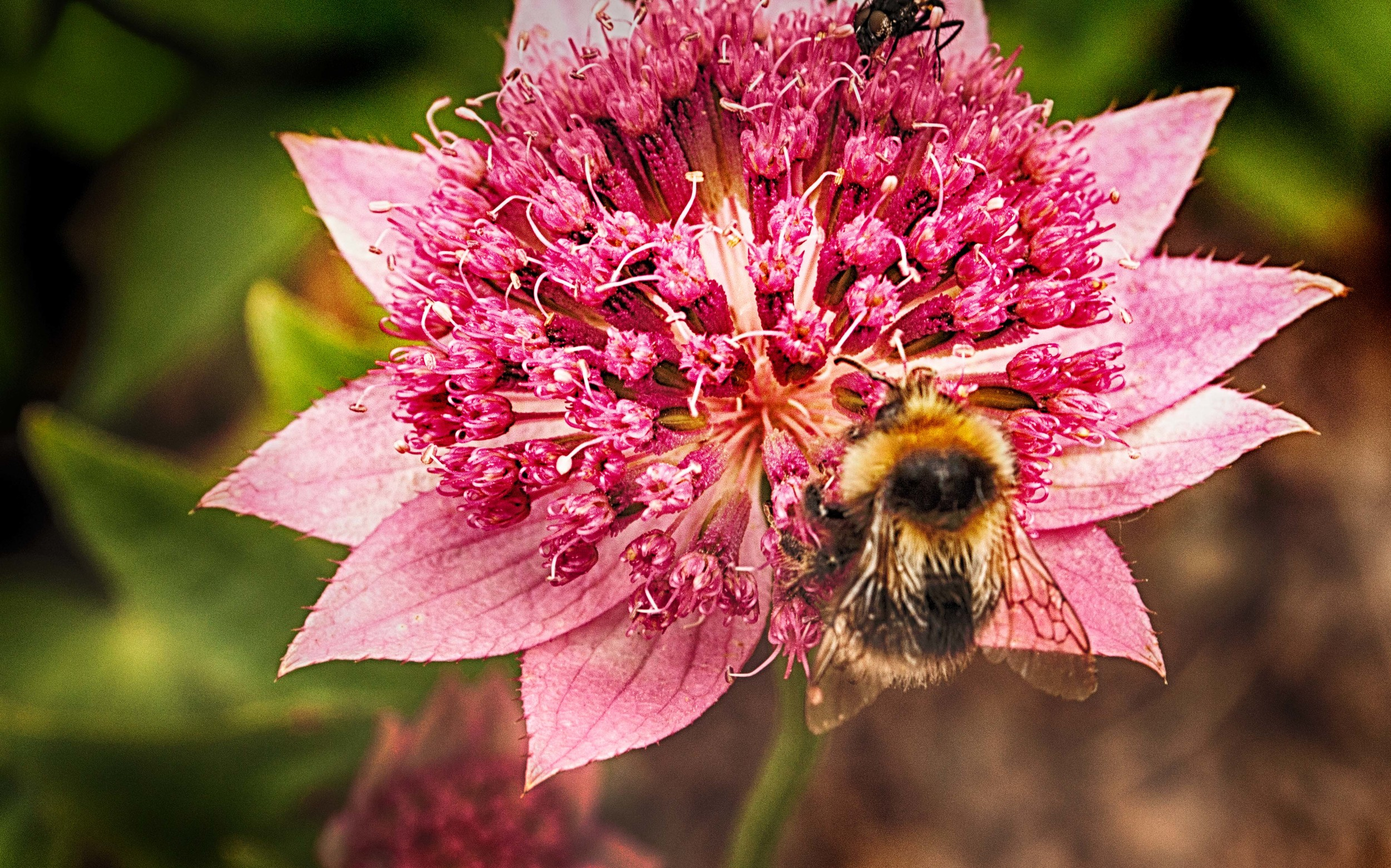Iceland Flower with Bee.jpg