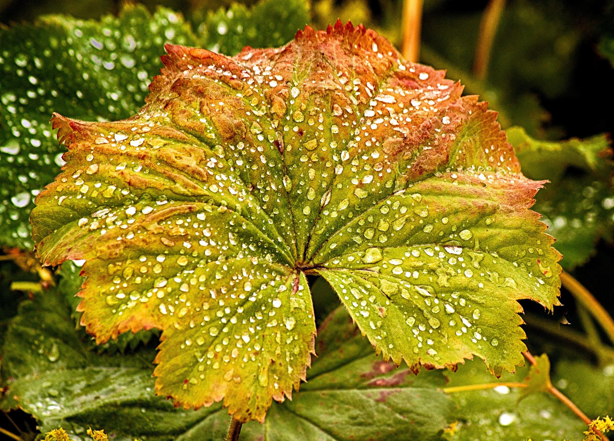 Leaf with Raindrops.jpg
