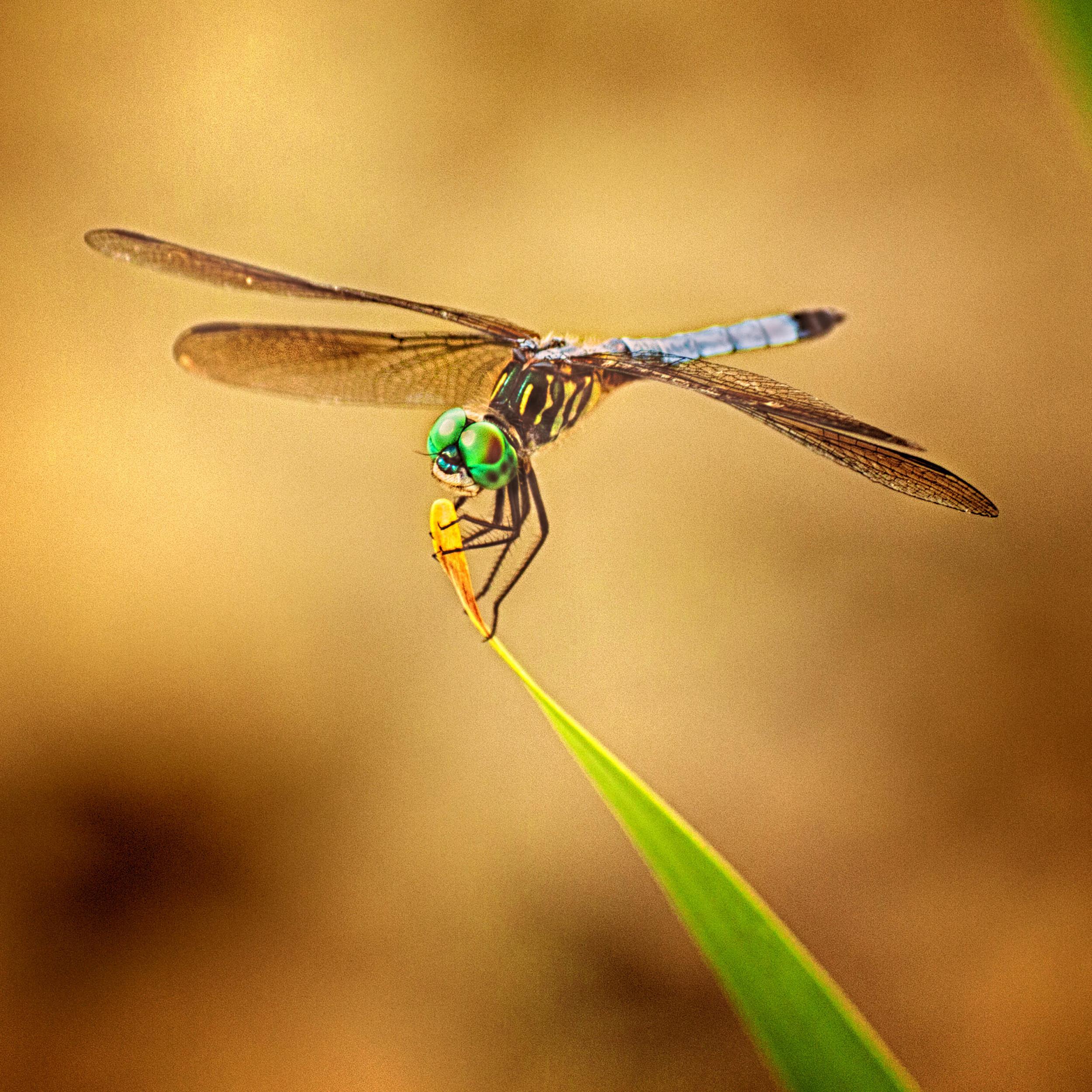 Dragonfly on Leaf cropped.jpg