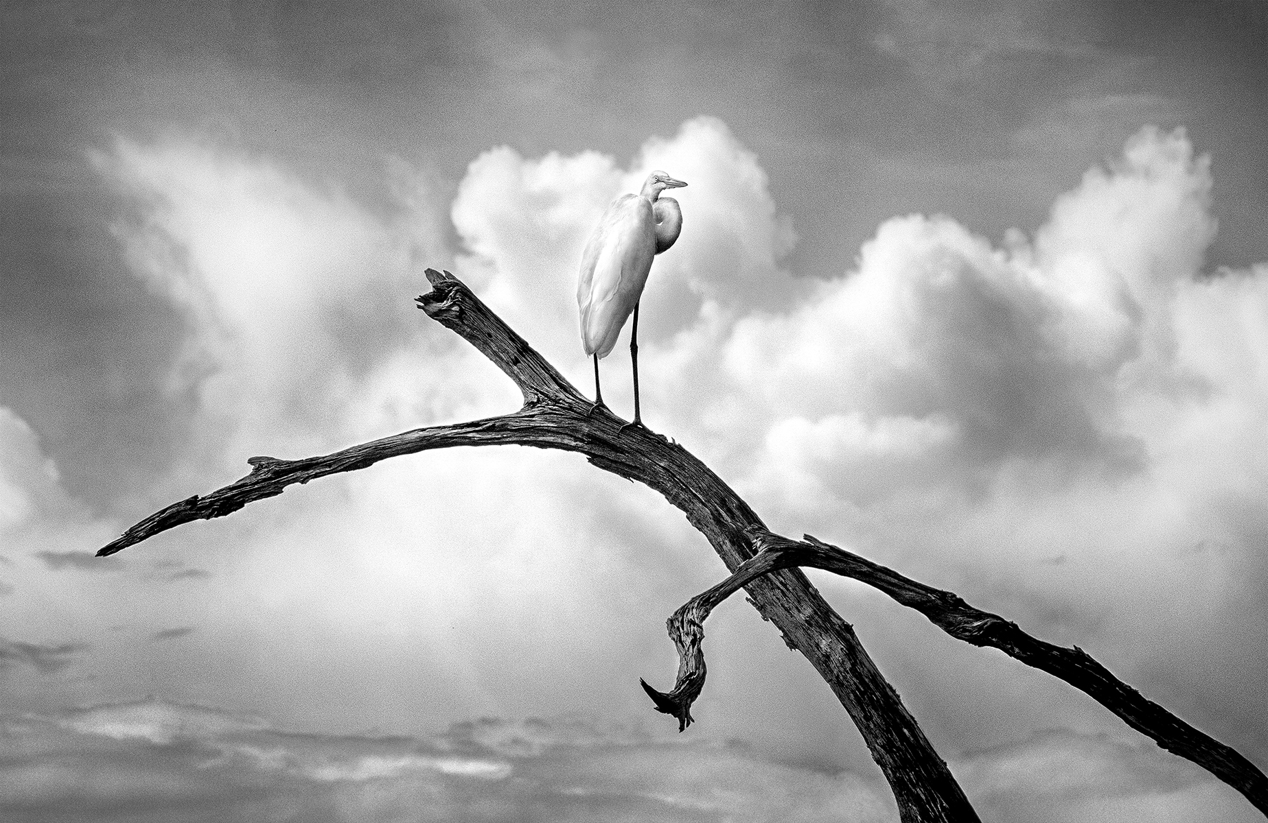 Egret on a Dead Branch