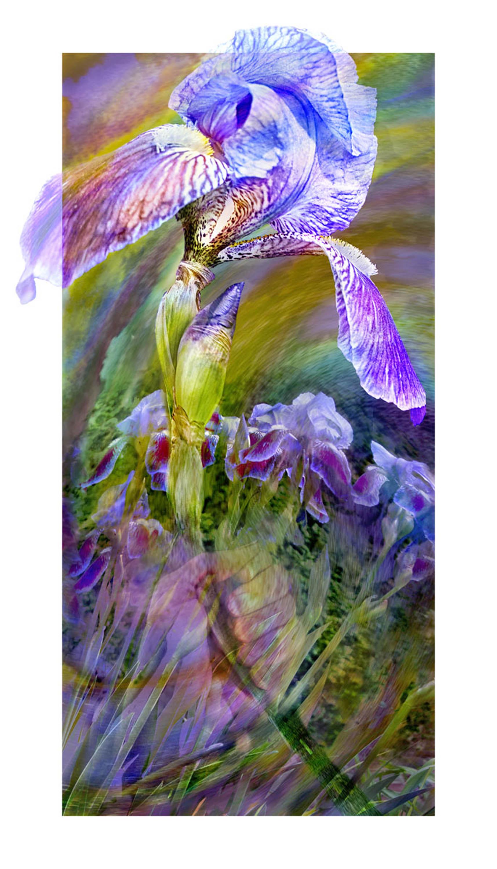 Picking an Iris