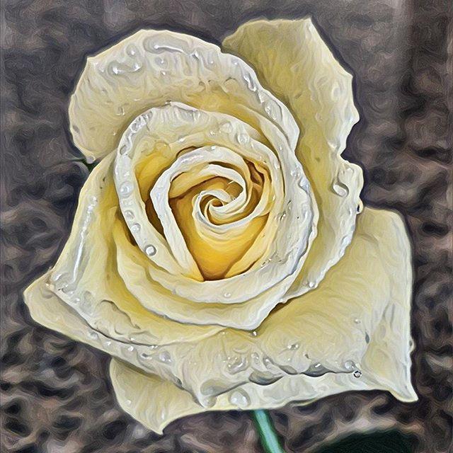 Yellow Rose.  #zen #rose #yellowrose #art #instartpics