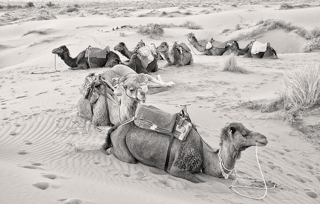 Camels, Northern Sahara 2014