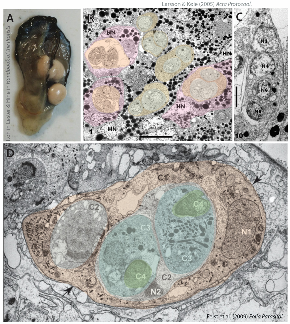 Figure 3 . Paramyxid appearance:  A ) an infected oyster ( Desportes 1984 );  B ) general view (TEM) of  Paramyxa nephtys  cells in various stages of spore formation  within  polychaete gut lining cells – this species develops inside host cells rather than between them! Pink outlines roughly correspond to host cells, yellow/orange and blue concentric outlines show layers of paramyxid cells (modified from  Audemard et al. 2002 );  C ) detail of  P. nephtys  tertiary cell (C3) with C4-C5 internal cells nested inside ( Audemard et al. 2002 ). For images of mature spores see  Audemard et al. 2002  (free access).  D ) Primary cell (C1) of  Paramarteilia canceri  with sporonts and spores (colours corresponding to those in Fig. 4; modified from  Larsson & Køie 2005 ). Note the dark blob and rod-like structures in C3: those are thought to be related to the dark-staining structures in haplosporidia called haplosporosomes labelled 'Hs' in Fig. 2a.