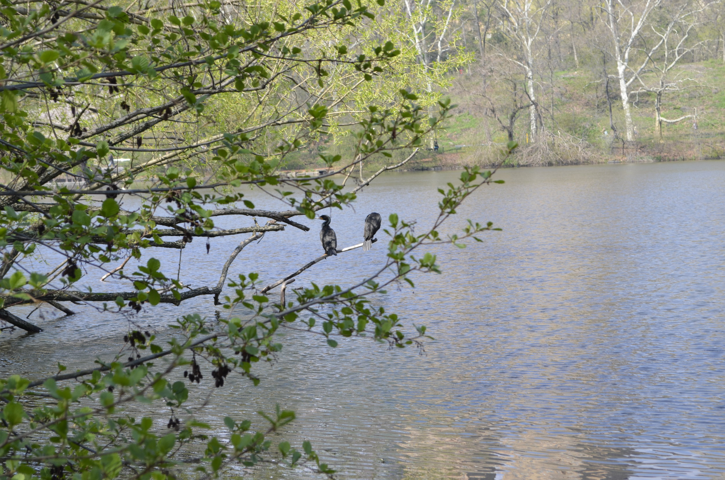 Two Cormorants observed during the walk.