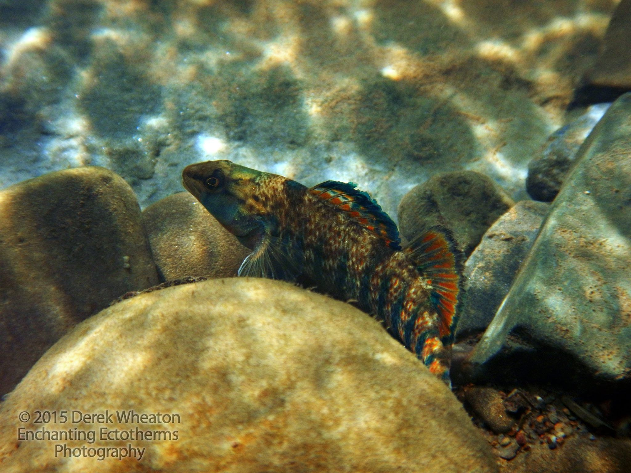 Figure 3.  Rainbow Darter ( Etheostoma caeruleum ). Photo by Derek Wheaton.