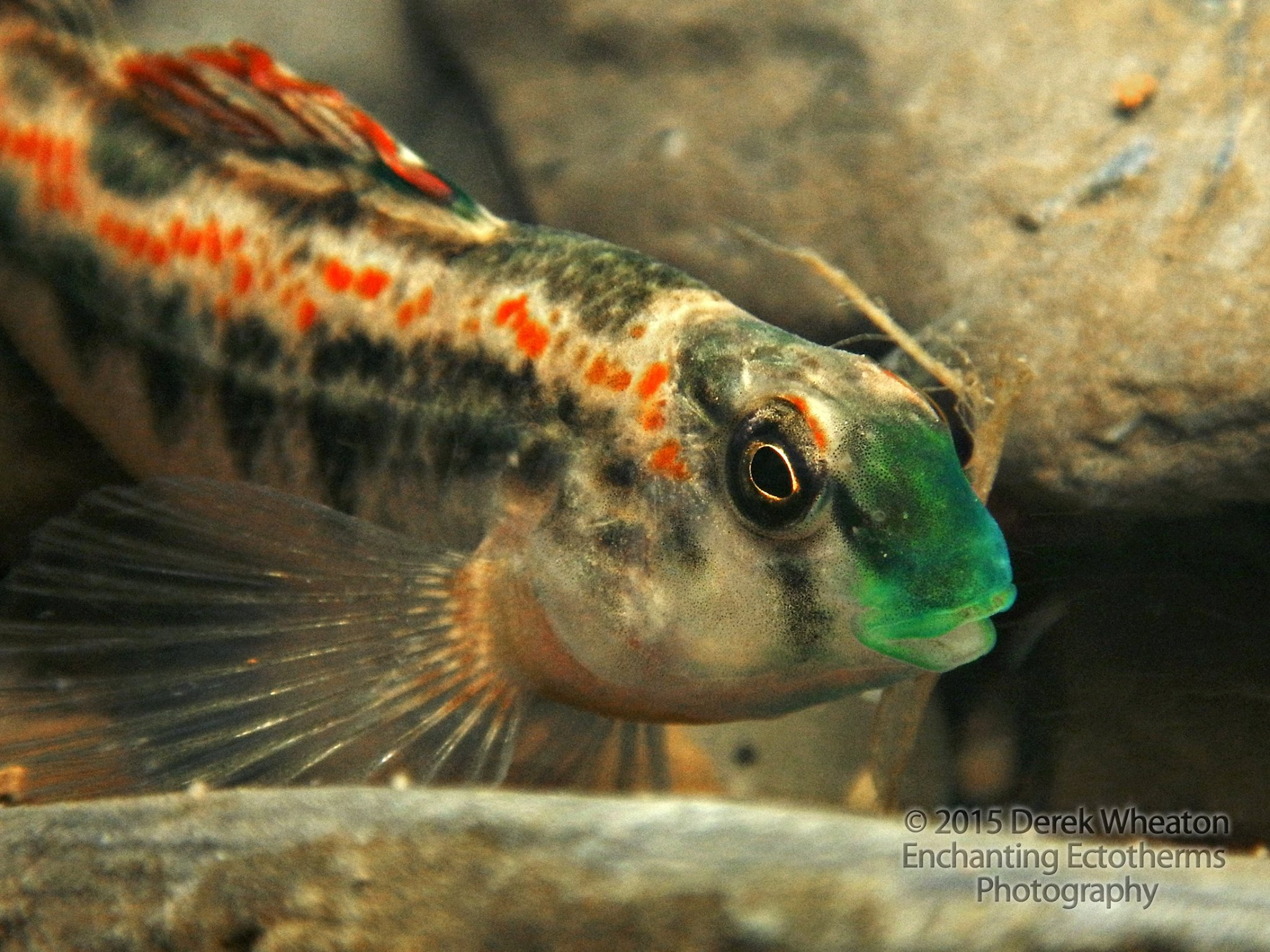 Figure 12.  Tennessee Snubnose Darter ( Etheostoma simoterum ). Photo by Derek Wheaton.