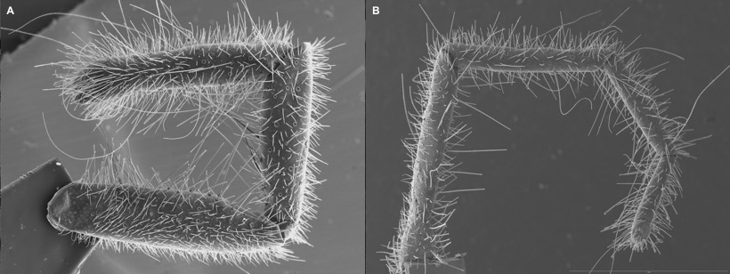Figure 5.  Scanning electron microscopy of the leg-like (but not walk-involved) pedipalps (A) and foremost leg (B), of a new mummuciid species. Photos: R. Botero Trujillo.
