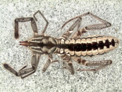 September - Mummuciidae - Dr. Ricardo Botero-Trujillo, American Museum of Natural History, NY