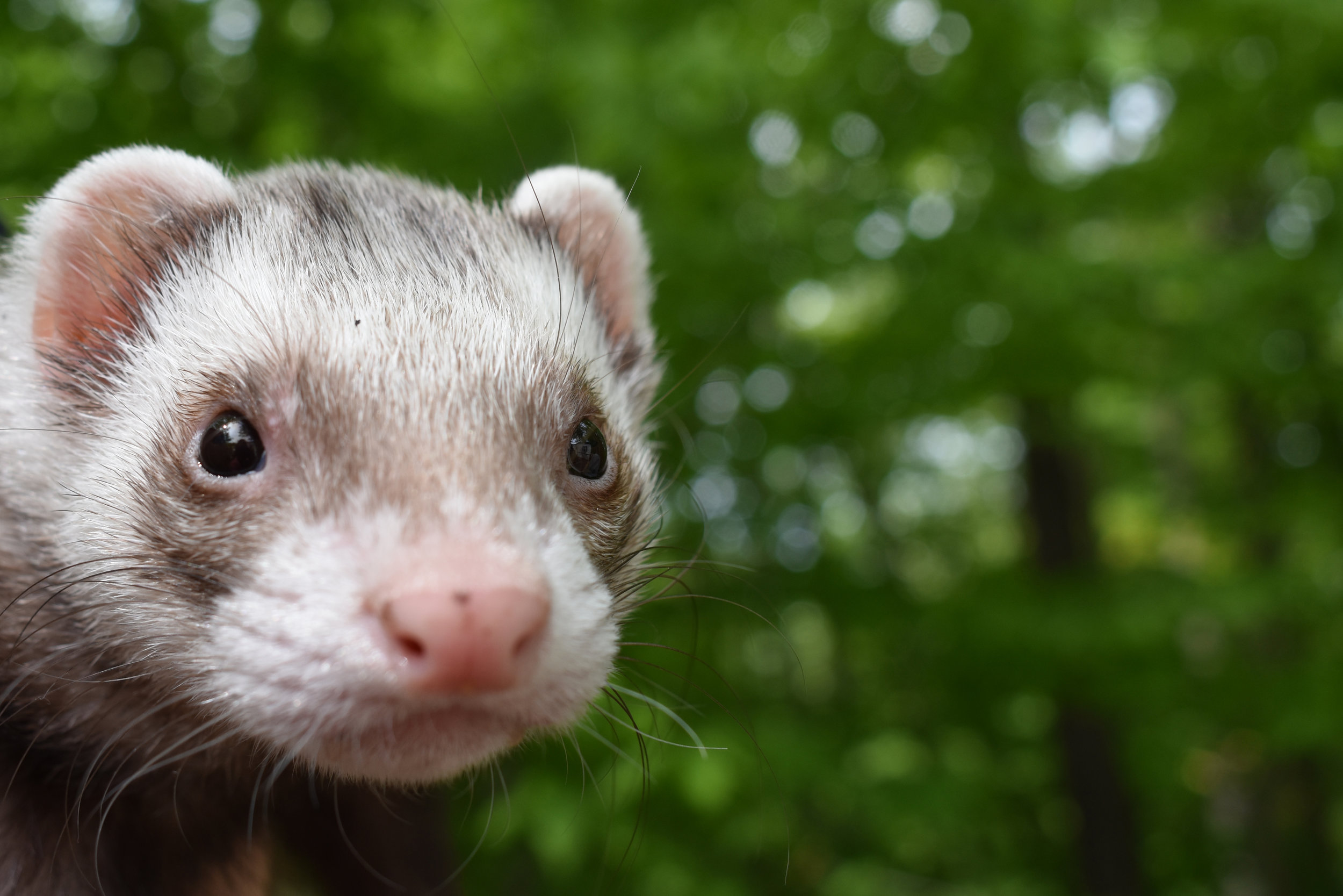 Sneaky Weasel hits the great outdoors in Eagle Lake, PA